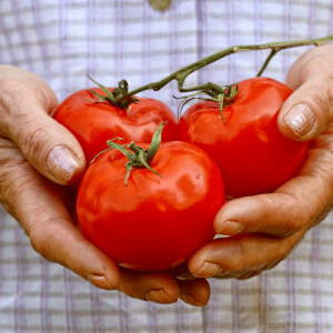 old-hands-tomatoes